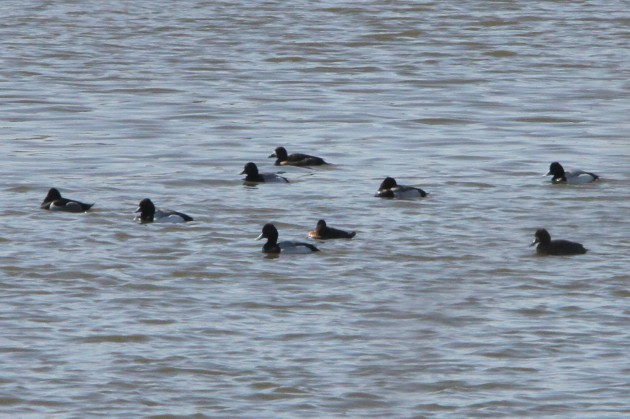 Lesser Scaup with one adult male Ring-necked Duck (Photo by Nathan Goldberg)