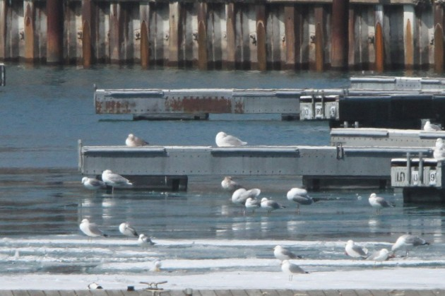 Adult Glaucous Gull with Herring and Ring-billed Gulls (Photo by Nathan Goldberg)