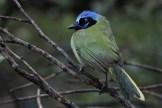 Green Jay at Laguna Atascosa NWR (Photo by Alex Lamoreaux)