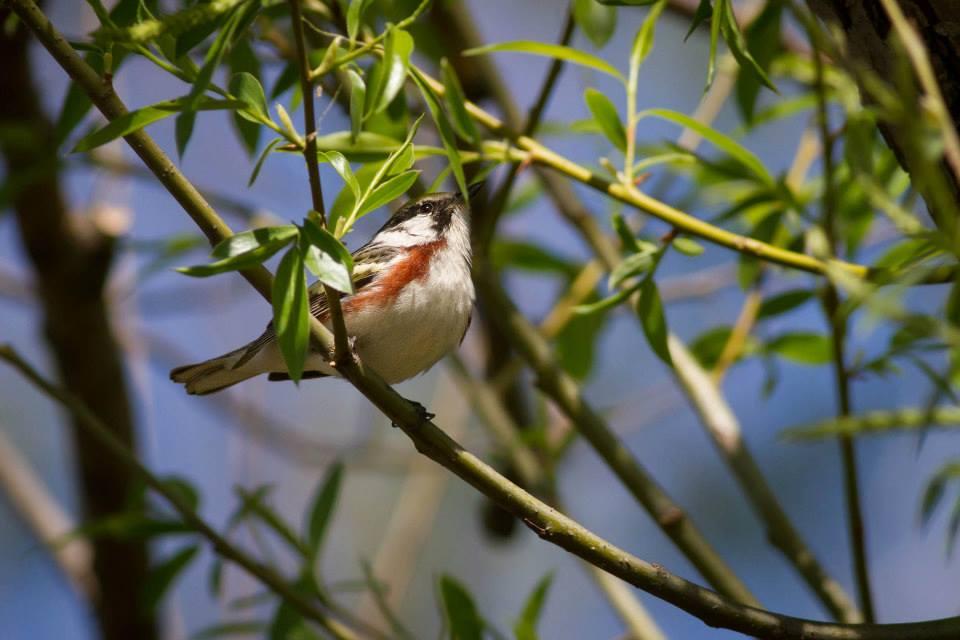 Chestnut-sided Warbler - Anna Fasoli