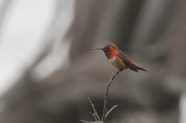 Allen's Hummingbird (Photo by Nathan Goldberg)