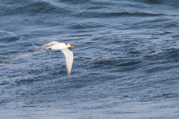 Royal Tern (Photo by Nathan Goldberg)