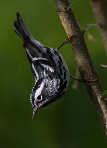 Black-and-white Warbler, South Padre Island (Tiffany Kersten)