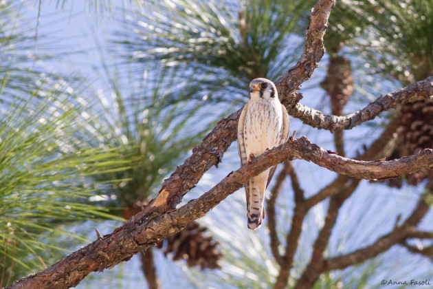 Southeastern American Kestrel - female; Levy County, Florida