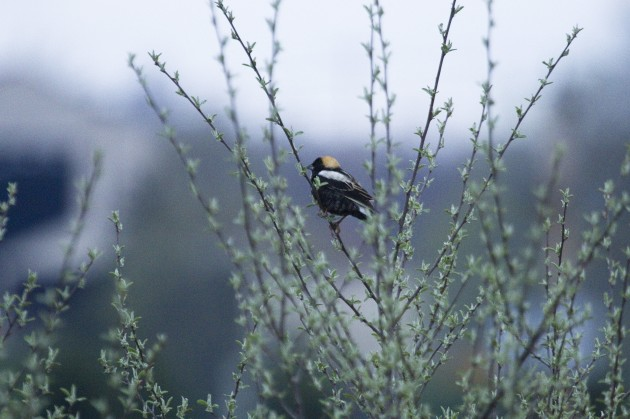 Bobolink at Old Crow Wetlands (Photo by Gordon Dimmig)