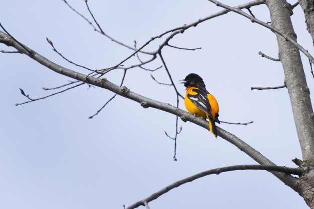 Baltimore Oriole (Photo by Gordon Dimmig)