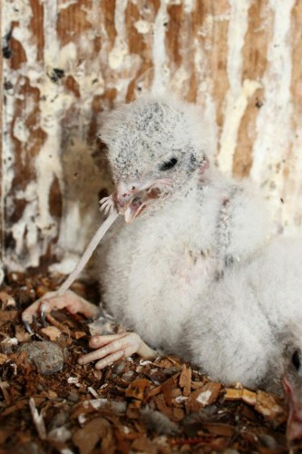 Southeastern American Kestrel chick - 12 days old, eating a small rodent