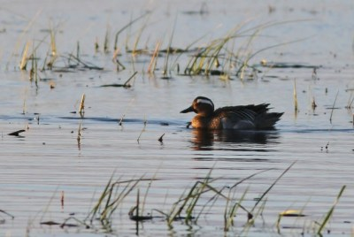 My lifer Garganey in Wisconsin! (Photo by Alex Lamoreaux)