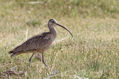 Long-billed Curlew (male) near where we trapped a female (Photo by Alex Lamoreaux)