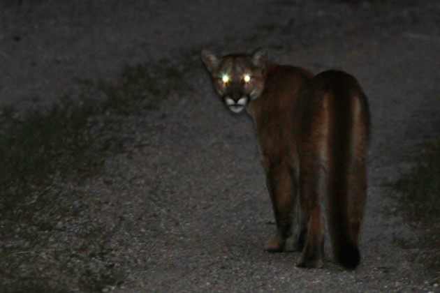 The first Mountain Lion I saw, it stopped in its tracks and just glared back at me. (Photo by Alex Lamoreaux)