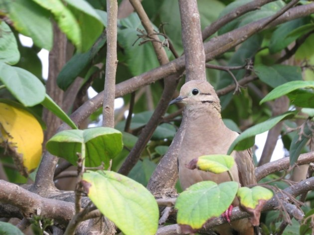 Eared Dove at Bucuti & Tara Beach Resorts, Aruba on 29 June 2014. Photo by Tim Schreckengost.