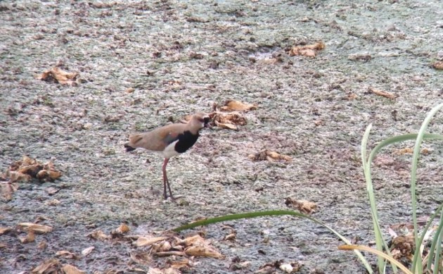 Southern Lapwing at Bubali Bird Sanctuary on 28 June 2014. Digiscoped with an iPhone 5 + Vortex Razor HD 20-60x85 & Phone Skope Adapter. iPhone photo by Tim Schreckengost.
