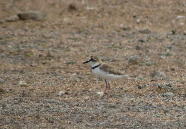 Collared Plover near Baby Beach, Aruba on 25 June 2014. Photo by Tim Schreckengost.