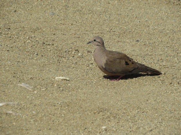 Eared Dove at the California Lighthouse, Aruba on 24 June 2014. Photo by Tim Schreckengost.