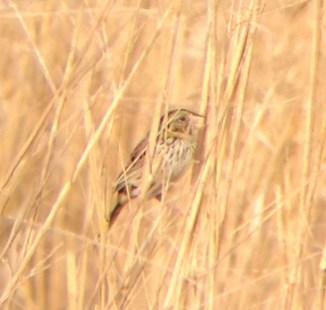 Henslow's Sparrow (Photo by Matt Sabatine)