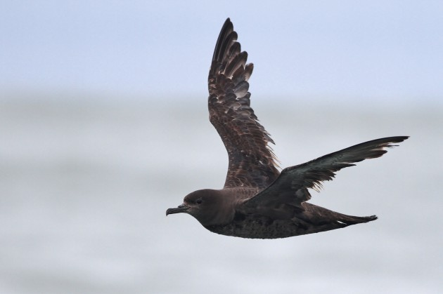 Sooty Shearwater offshore Washington (Photo by Alex Lamoreaux)