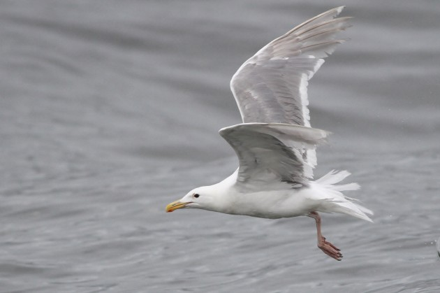 Glaucous-winged Gull (Photo by Alex Lamoreaux)