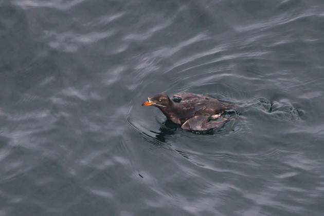 Rhinoceros Auklet foraging below me at Cape Flattery, Washington (Photo by Alex Lamoreaux)