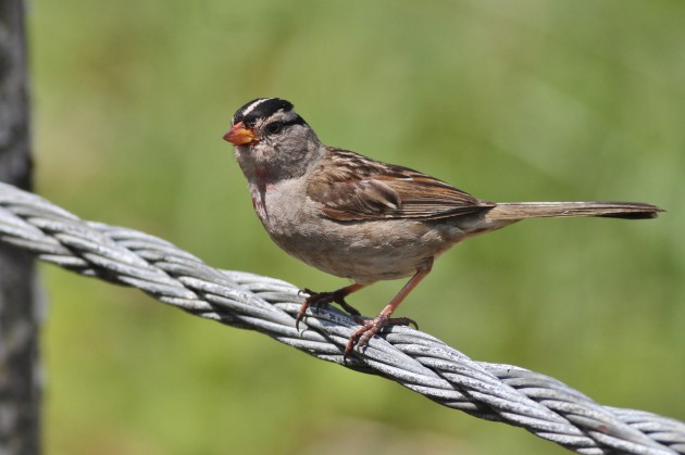 Adult 'Puget Sound' White-crowned Sparrow with berry stains, from Salt Creek County Park, Washington (Photo by Alex Lamoreaux)