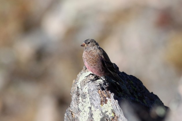A nomadic flock of Brown-capped Rosy-Finches bounced below the rock cut high on Trail Ridge Road, occasionally coming very close to observers. My fellow North Carolina birder Mike McCloy was able to snag this great shot. Photo by Mike McCloy.