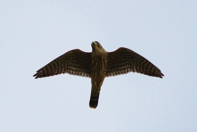 An added bonus of chasing a rarity in Cape May is that there are always raptors overhead - here's one of 2 Merlin we saw! (Photo by Alex Lamoreaux)