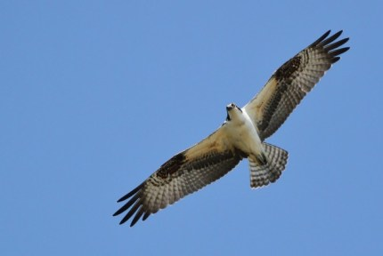 Osprey (Photo by Alex Lamoreaux)