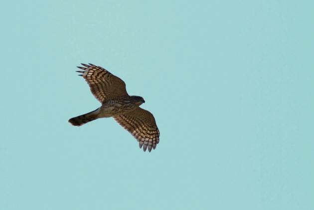 Nearly 500 Sharp-shinned Hawks have migrated past the hawkwatch this month, including this immature that made a nice, close pass. (Photo by Alex Lamoreaux)