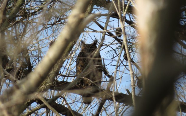 Great Horned Owl at Prime Hook NWR on 18 October 2014. Photo by Tim Schreckengost.