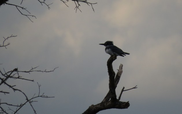 Belted Kingfisher at Prime Hook NWR on 18 October 2014. Photo by Tim Schreckengost.