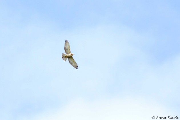 Broad-winged Hawk - juvenile, flying over the count site