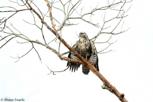 Common Black-Hawk - juvenile, drying off after a storm