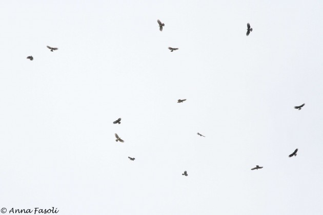 A large kettle of Hook-billed Kites containing adults, juveniles, and dark morphs