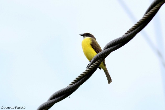 Social Flycatcher; note the smaller bill than Great Kiskadee