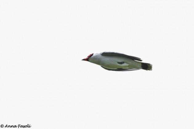 Masked Tityra flyover (Photo by Anna Fasoli)