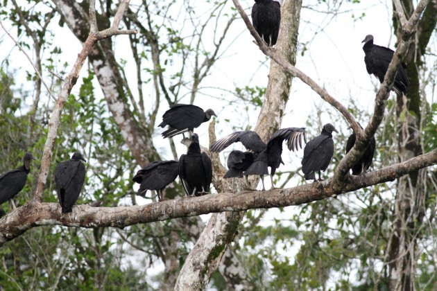 Black Vultures roosting at the local dump