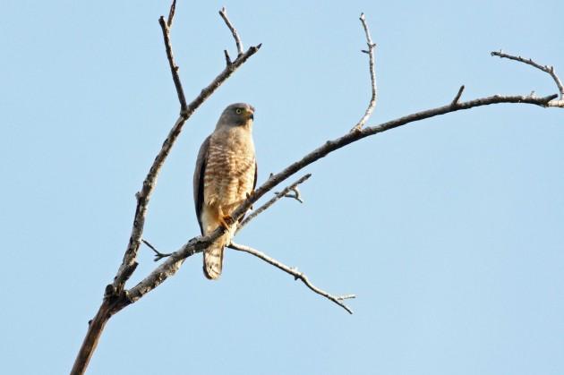 Roadside Hawk (adult) roosting near the local dump