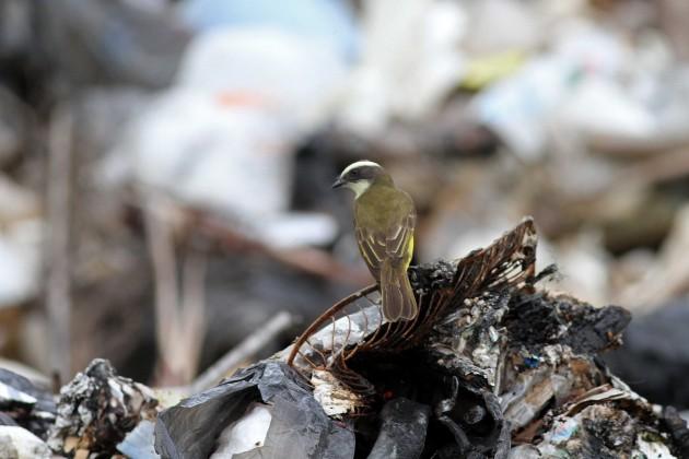 Social Flycatcher at the dump...I hope he got his tetanus shot....
