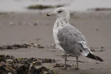 California Gull - 3rd winter (Photo by Alex Lamoreaux)