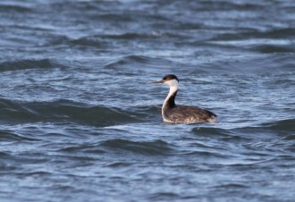 Western Grebe (Photo by Alex Lamoreaux)