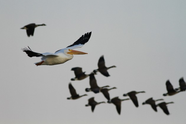 American White Pelican with Canada Geese, Prime Hook NWR, DE (Photo by Alex Lamoreaux)