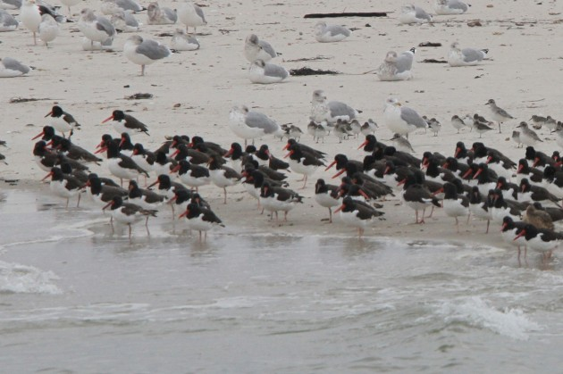 American Oystercatchers on the beach  (Photo by Nathan Goldberg)