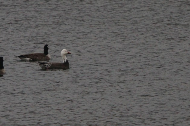 Blue morph Snow Goose with Canada Geese (Photo by Nathan Goldberg)