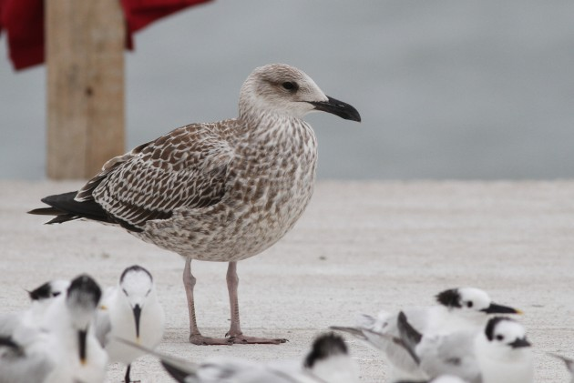 One of two first winter Lesser Black-backed Gulls found on December 8th, 2014 along the Punta Gorda coastline. This was the second confirmed record of Lesser Black-back in Belize, with the first sighting by Michael O'Brien on March 3rd, 2011. (Photo by Alex Lamoreaux)