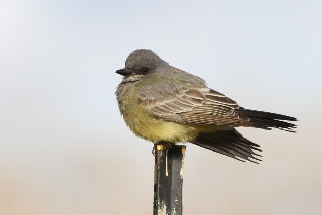 Cassin's Kingbird surveying it's territory at the community gardens at Floyd Bennett Field (Photo by Alex Lamoreaux)