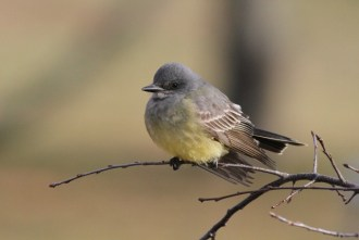 Cassin's Kingbird at Floyd Bennet Field (Photo by Alex Lamoreaux)