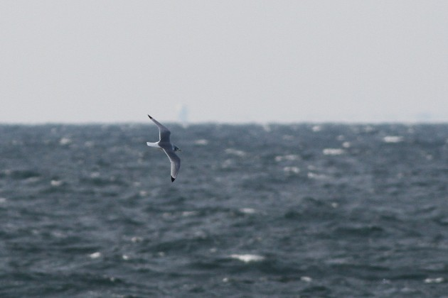 Adult Black-legged Kittiwake headed towards out wake. (Photo by Alex Lamoreaux)