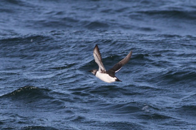 Common Murre flushing ahead of the boat. (Photo by Alex Lamoreaux)