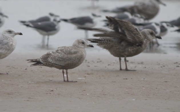 Thayer's Gull at Daytona Beach Shores, Volusia Co, Florida on 23 January 2015. Photo by Tim Schreckengost.
