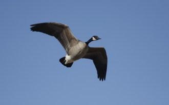 Canada Goose - Tim Schreckengost