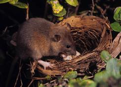 Rat predating songbird nest. Photo by Jack Jeffrey.